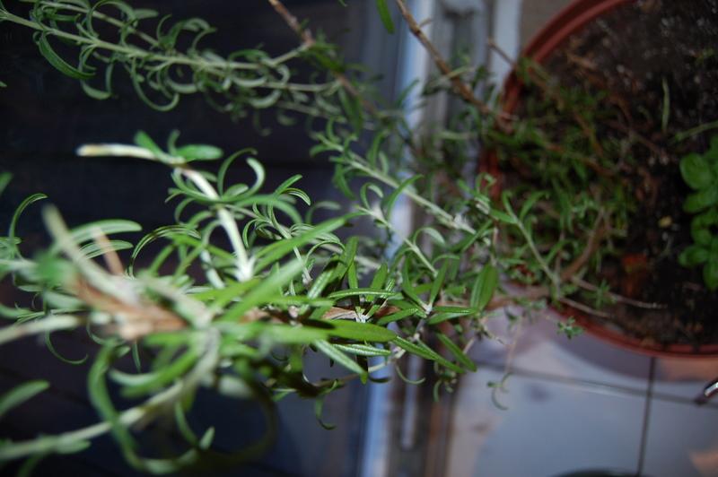 fresh! Rosemary